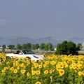 写真: ひまわり畑3