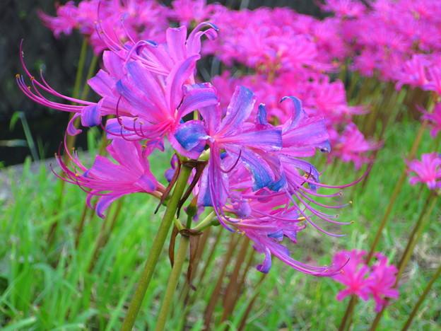 紫の彼岸花