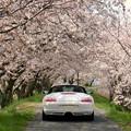 Photos: 姉川の桜並木3