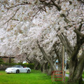 桜の公園3