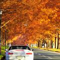 メタセコイア紅葉並木
