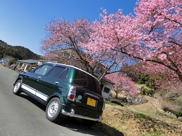 Photos: 河津桜ジーノ