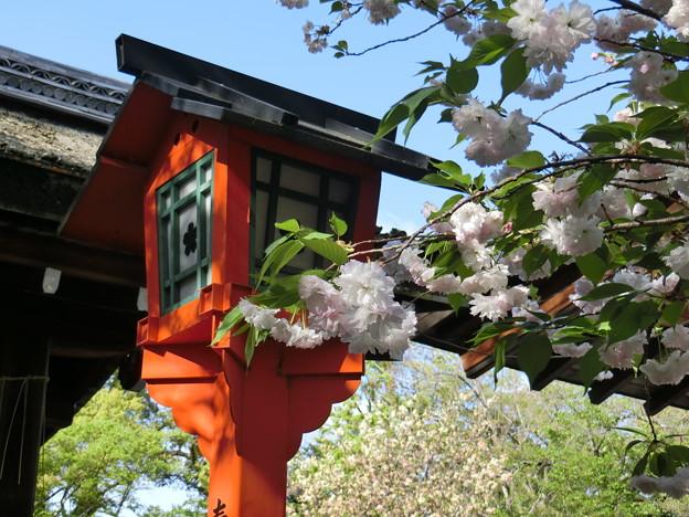 平野神社の松月
