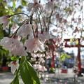 平野神社の枝垂れ2