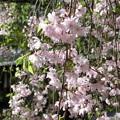 平野神社の枝垂れ