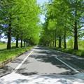 メタセコイア新緑並木