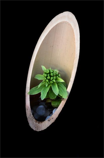 写真: 竹から生まれた蕗の薹