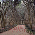 写真: 椿自生地の小道
