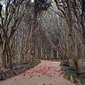 椿自生地の小道