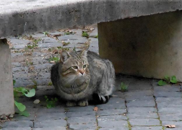 ディオクレアヌス浴場跡の猫