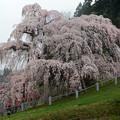 Photos: 三春滝桜初顔合わせ