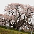 写真: 三春滝桜ぐるっと廻って