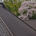 Photos: 福聚寺の桜