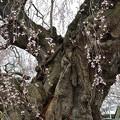 三春滝桜最接近