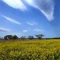 写真: 菜の花畑の青空
