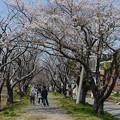 写真: 桜並木遺影