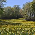 写真: 水仙のゲレンデ