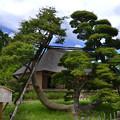 写真: 別名鶴の松