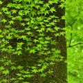 写真: 糺の森の青もみじ