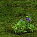 写真: 苔と若い紫陽花