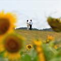 写真: ひまわり畑