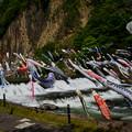 Photos: 川風に泳ぐ