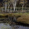 写真: 池塘と白樺