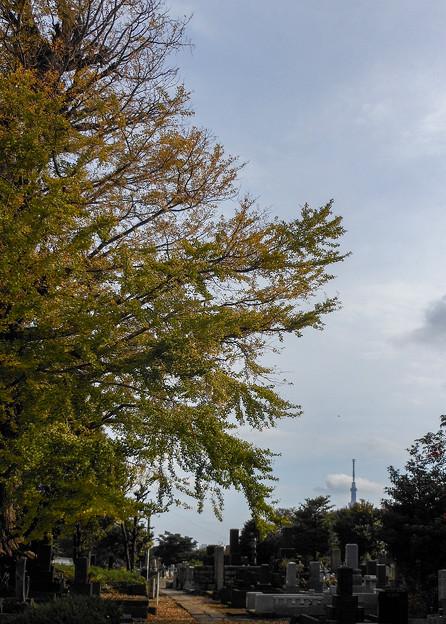 イチョウとスカイツリー