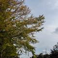 Photos: イチョウとスカイツリー
