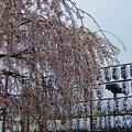 2019初桜