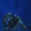 Photos: 碧いサンゴ
