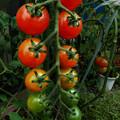 ミニトマトのグラデーション