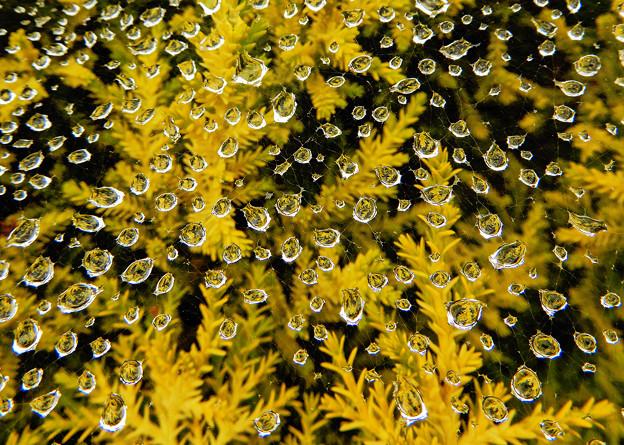 Photos: コニファーに蜘蛛の巣