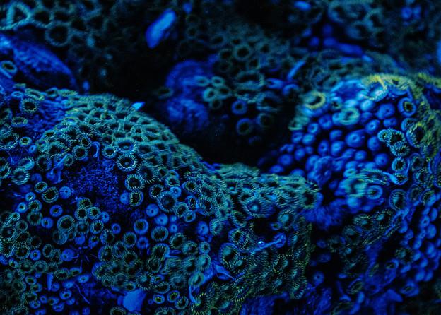 Photos: 蛍光珊瑚