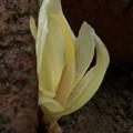 Photos: 茗荷の花