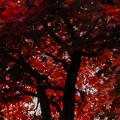 Photos: 庭のモミジ