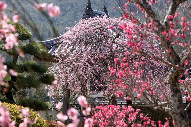 矢掛町 観照寺の梅08