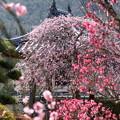 Photos: 矢掛町 観照寺の梅08
