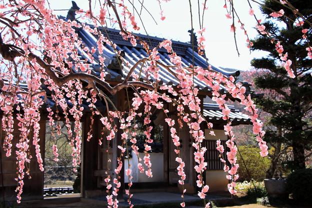 矢掛町 観照寺の梅10