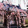 Photos: 矢掛町 観照寺の梅10