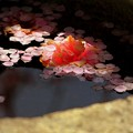 Photos: 矢掛町 観照寺の梅11