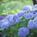 2018 倉敷市種松山公園の紫陽花09