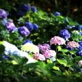 2018 倉敷市種松山公園の紫陽花07
