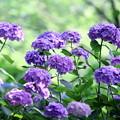 2018 倉敷市種松山公園の紫陽花06