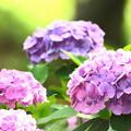 2018 倉敷市種松山公園の紫陽花03