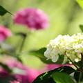 2018 倉敷市種松山公園の紫陽花02