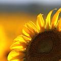 写真: 夕日に輝く笠岡ベイファームのひまわり畑04
