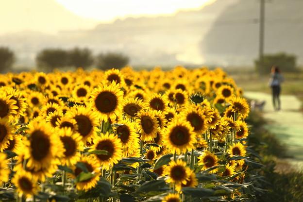 写真: 夕日に輝く笠岡ベイファームのひまわり畑03
