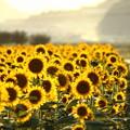 Photos: 夕日に輝く笠岡ベイファームのひまわり畑03