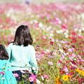2018 笠岡ベイファームの秋桜04